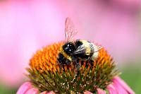 Bumble bee, Bombus terrestris Germany
