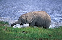 African Elephant Loxodonta africana Amboseli Nationalpark Kenya Africa