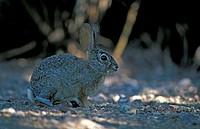 Desert Cottontail Sylvilagus auduboni Sonora Desert Arizona USA