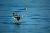 Brown Pelican Pelecanus occidentalis Florida USA