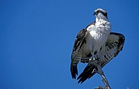 Osprey Pandion haliaetus Sanibel Island Florida USA
