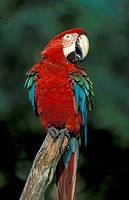 Red Blue and Green Macaw Ara chloroptera South America