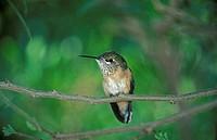 Calliope-Hummingbird Stellula calliope Sonora Desert Arizona USA