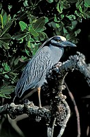 Yellow crowned Night Heron Nyctanassa violacea Ding Darling Game reserve Sanibel Island Florida USA