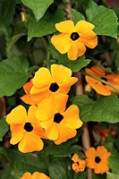 Black Eyed Susan Thunbergia alata Germany Europe