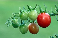 Cherry Tomatoe Lycopersicon esculentum var. Cerasiforme Germany Europe