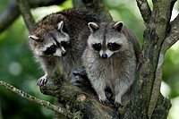 North American Raccoon Procyon lotor North America