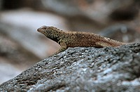 Lava, Lizard, Espanola, Hood, Galapagos, Islands, Ecuador, Microlophus, spec.