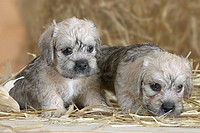 Dandie, Dinmont, Terrier,, puppies,, 6, weeks
