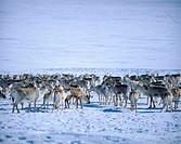 Reindeer, herd, Lapland, Norway, Rangifer, tarandus