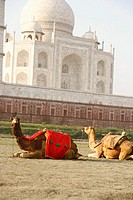 Two camels sitting in front of a mausoleum, Taj Mahal, Agra, Uttar Pradesh, India