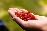 handfull of wild strawberries