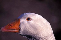 White goose