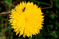 Autumn hawkbit flower