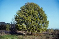 English elm (Ulmus minor)