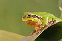 Close_up of European tree frog Hyla arborea on leaf