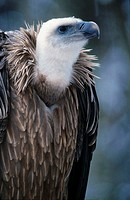Close_up of vulture, Bavaria, Germany