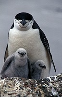 Chinstrap Penguin with young on Deception Island, Antarctica