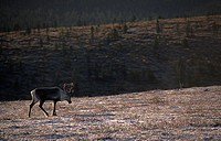 Reindeer during the Ruska or autumn in Saariselka, the mountainous part of the national park Urho Kekkonen, north-eastern Finnish Lapland