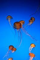 Sea nettle jellyfish in Monterey Bay Aquarium, Monterey, California, USA