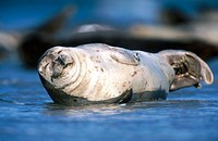Harbor seal (Phoca vitulina). Helgoland. Germany