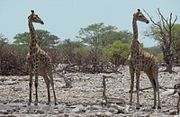 A Giraffe pair identically posed, head in profile, eyes and ears alert