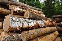 Close up view of cut logging trees, Haliburton, Canada