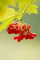 Guelder-rose