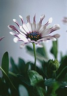 Cape daisy Osteospermum ´Philip White Spoon´