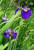 Canada beach head iris Iris setosa canadensis