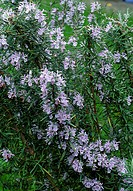 Rosmarinus officinalis  Flowering Common Rosemary plant with purple flowers