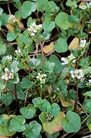 Early Scurvy grass Cochlearia danica  Closeup of pale lilac flowers in spring  Photographed beside a road where salt from gritting operations had crea...