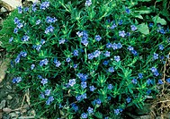 Lithodora diffusum  Flowers and foligae Portugal Dr