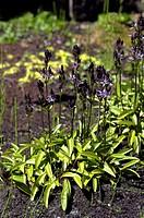 Marsh felwort Swertia perennis