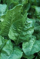 Organic perpetual spinach Beta vulgaris growing in a vegetable bed
