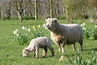 Southdown sheep and lamb Ovis aries grazing in a field  Photographed in April in Kent, UK