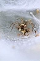 Labyrinth spider Agelena labyrinthica wrapping its prey in silk  This common funnel-web spider produces a sheet web with a funnel shaped retreat  It i...