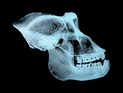Gorilla skull Gorilla  Side view X-ray showing the cranium, eye socket, nasal area and jawbone