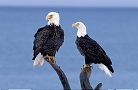 zoology / animals, avian / bird, Accipitridae, Bald Eagle Haliaeetus leucocephalus, two eagles sitting on tree, Homer, Alaska, USA, distribution: Nort...