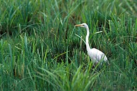 zoology / animals, avian / bird, herons, Great White Egret, Ardea alba, standing in meadow, Masai Mara, Kenya, distribution: worldwide, ardeidae, casm...