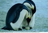 Dokumentarfilm ´Die Reise der Pinguine´ La marche de I´empereur, FRA 2004, Regie: Luc Jacquet, Filmszene, Film, Doku, Dokumentation, Tierdoku, Pinguin...