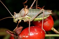 zoology / animals, insect, Ephippigeridae, Saddle-backed bush-cricket Ephippiger ephippiger, sitting on dogrose, Leitha mountains, Austria, distributi...