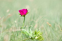 The Purple Poppymallow Callirhoe involucrata is a wildflower that is often called a Wine Cup because of its shape and color