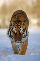 Siberian Tiger Panthera tigris altaica, an endangered species, in winter snow  Captive animal  Montana
