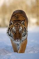 Siberian Tiger Panthera tigris altaica, an endangered species, in winter snow  Captive animal  Montana