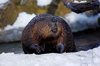 Brook-shores, snow, Canadian beaver, Castor canadensis, winters, series, Wildlife, wildlife, wilderness, animal, mammal, rodent, brook, shores, ice, A...