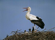 Storchennest, white-stork, Ciconia ciconia, young, wildlife, guard Wildlife, animals game-animals animals birds waders, Störche, Ciconiidae, migratory...