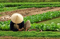 Vietnam, Hoi An, field, vegetable-cultivation, worker, sits, harvest, no regional-typically, basket, models southeast-Asia, economy, agriculture, cult...