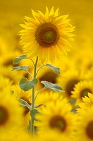 Sunflower-field, detail, field, cultivation, sunflower-cultivation, sunflowers, Helianthus, flowers, plants, useful plants, culture-plants, prime, fie...