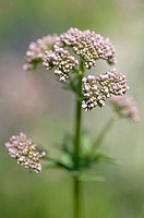 Real valerian, Valeriana officinalis, detail, blooms, fuzziness, nature, botany, vegetation, flora, plant, mean valerian, salvation-plant, medicine-pl...